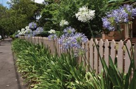 Agapanthus Orientalis: a Demanding or a Low Maintenance Plant?