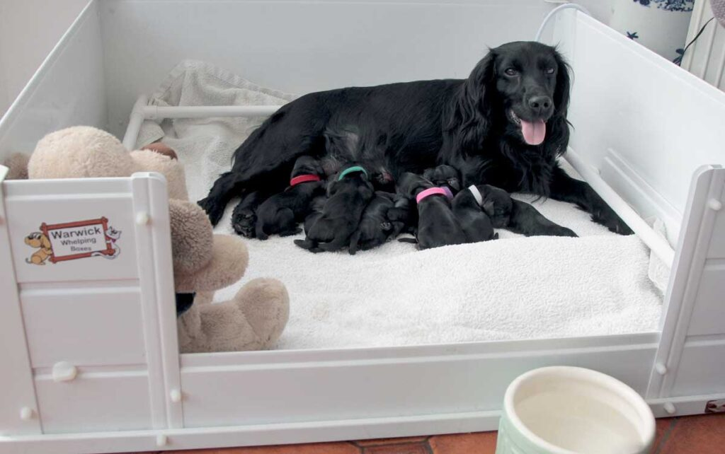 dog whelping box with puppies with their mom inside